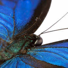 kék-lepke-háta_webre
