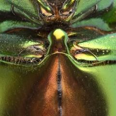 zöld-bogár-has_részlet_webre